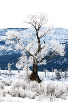 Dancing Tree w/ Hoar Frost