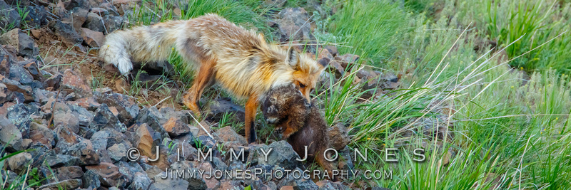Red Fox With Marmot