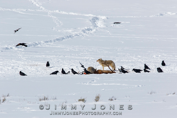 Coyotes at Elk Kill