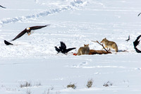 Coyotes at Elk Kill With Bald Eagle