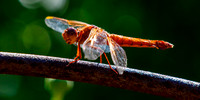 Orange Dragonfly ( Flame Skimmer )