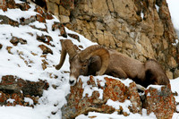 Bighorn Ram / Bed of Stone
