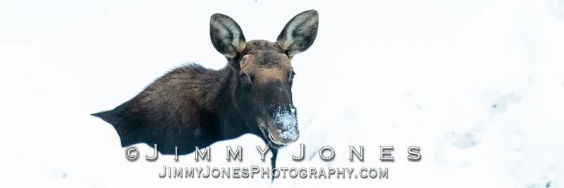 Silver Dollar Bull Moose