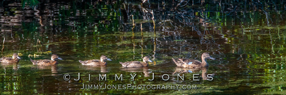 Female Mallard Duck with Young